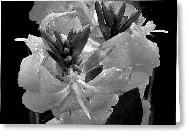Canna Lily With Rain In Black And White Greeting Card by Michele Avanti