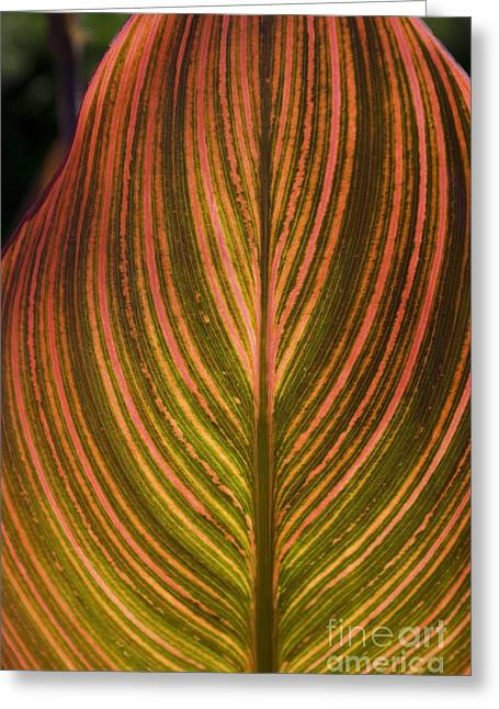 Canna Greeting Cards - Canna Greeting Card by Valerie Fuqua