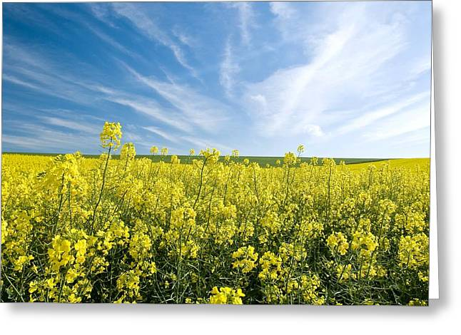 Land Use Greeting Cards - Canola Field Greeting Card by Peter Chadwick