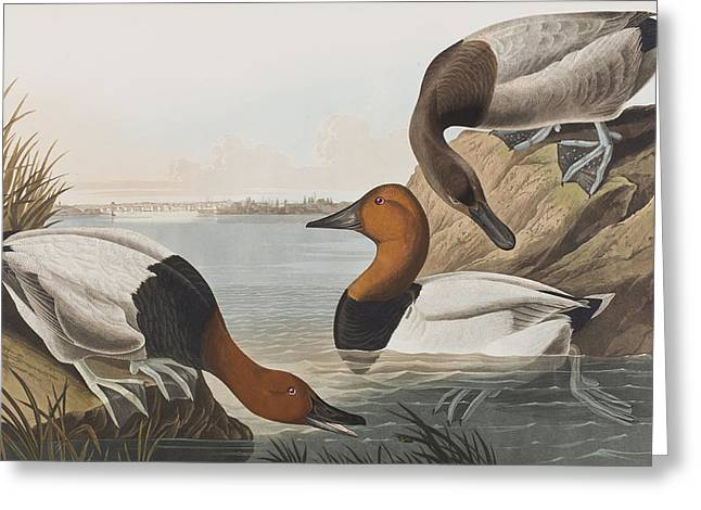 From Birds Of America Drawings Greeting Cards - Canvas backed Duck Greeting Card by John James Audubon