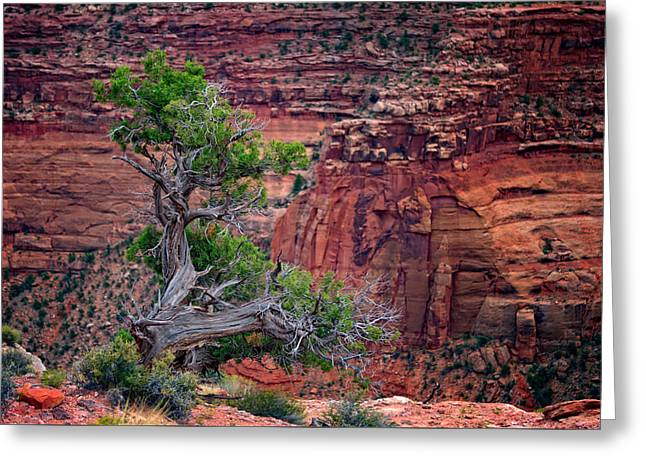 The Plateaus Greeting Cards - Canyonlands Juniper Greeting Card by Rick Berk