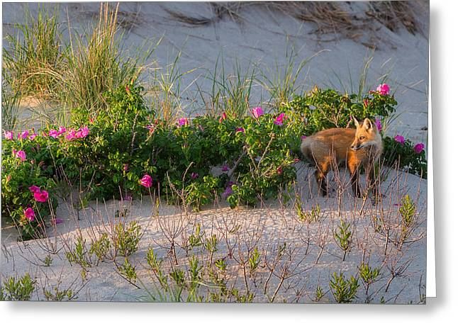 Fox Photographs Greeting Cards - Cape Cod Beach Fox Greeting Card by Bill Wakeley