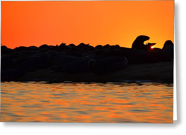 New England Ocean Greeting Cards - Cape Cod Gray Seals Greeting Card by Dianne Cowen