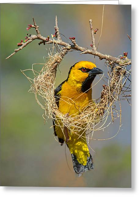 Bird On Tree Greeting Cards - Cape Weaver Bird Builds A Nest Greeting Card by Panoramic Images