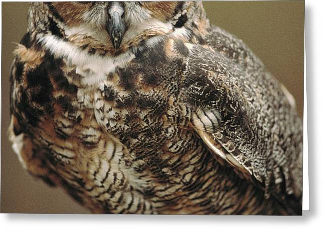 Captive Great Horned Owl, Bubo Greeting Card by Raymond Gehman