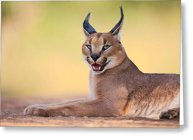 Workshop. Greeting Cards - Caracal Greeting Card by Hillebrand Breuker