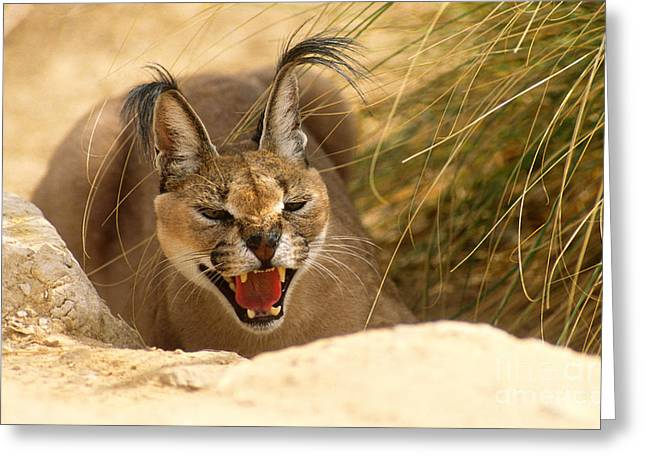 Tufted Ears Greeting Cards - Caracal Greeting Card by Mark D. Phillips