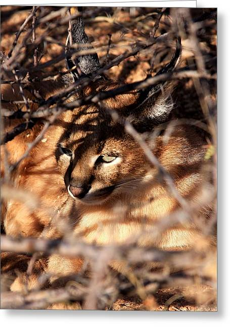 Pictures Of Cats Greeting Cards - Caracal in Namibia Greeting Card by Stacie Gary