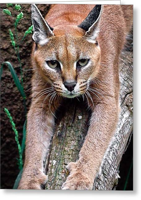 Bobcats Greeting Cards - Caracals Claws Are Out Greeting Card by Athena Mckinzie