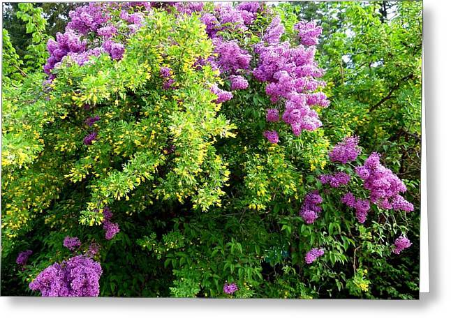 Flower Blossom Greeting Cards - Caragana And Lilacs Greeting Card by Will Borden