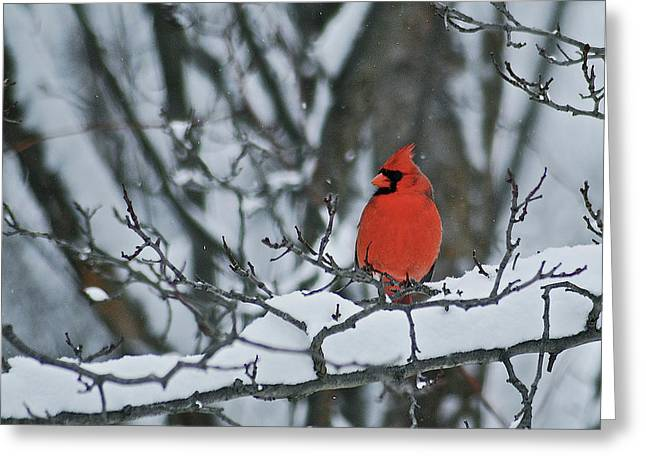 Cardinal And Snow Greeting Card by Michael Peychich