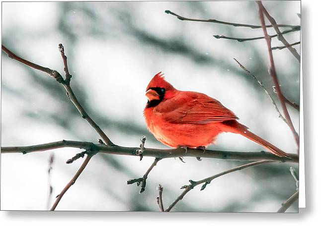 Cardinal And White Greeting Card by Todd Klassy
