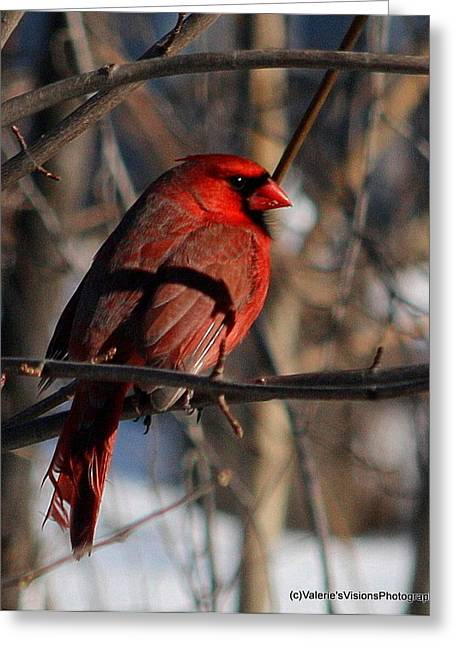 Stein Greeting Cards - Cardinal sitting pretty Greeting Card by Valerie Stein