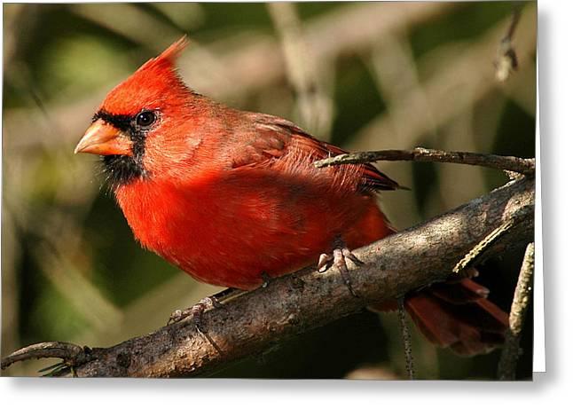 Cardinal Up Close Greeting Card by Alan Lenk