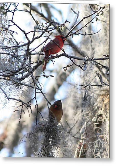Cardinals In Mossy Tree Greeting Card by Carol Groenen