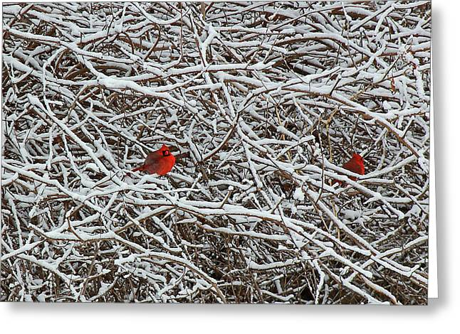 Becky Lodes Greeting Cards - Cardinals in snow Greeting Card by Becky Lodes