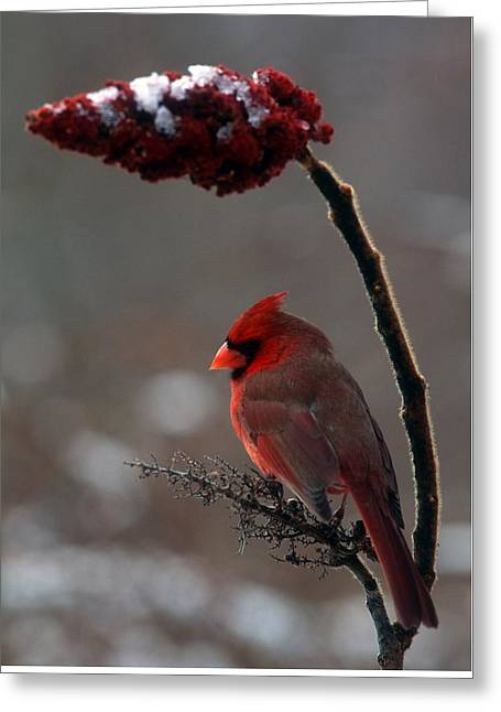 Cardnal And Sumack #2 Greeting Card by Terry Dickinson