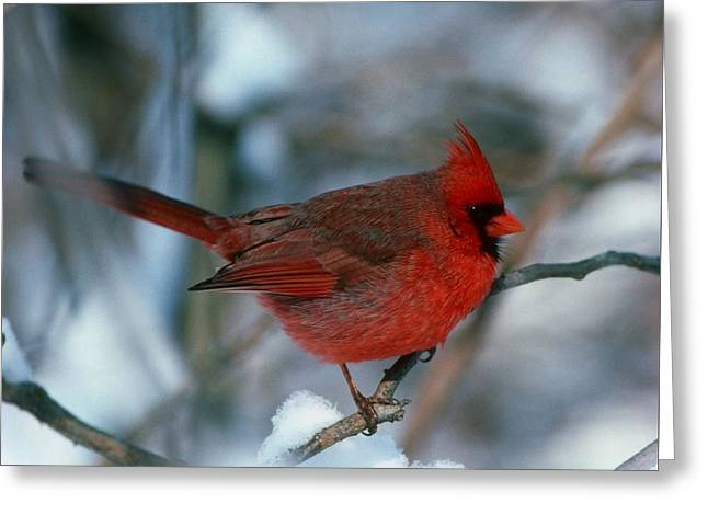 Cardnal In The Snow # 2 Greeting Card by Terry Dickinson