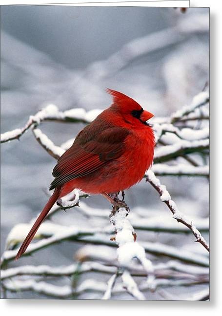 Cardnal In The Snow #2 Greeting Card by Terry Dickinson