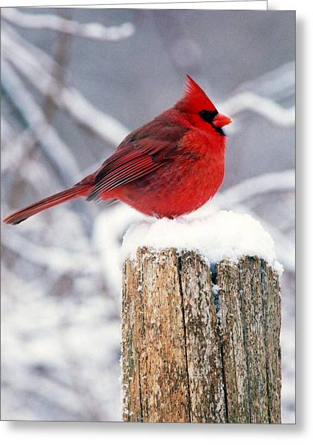 Cardnal On Fencepost Greeting Card by Terry Dickinson