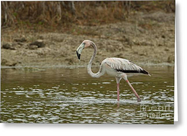 Greater Antilles Greeting Cards - Caribbean Flamingo Greeting Card by Neil Bowman/FLPA