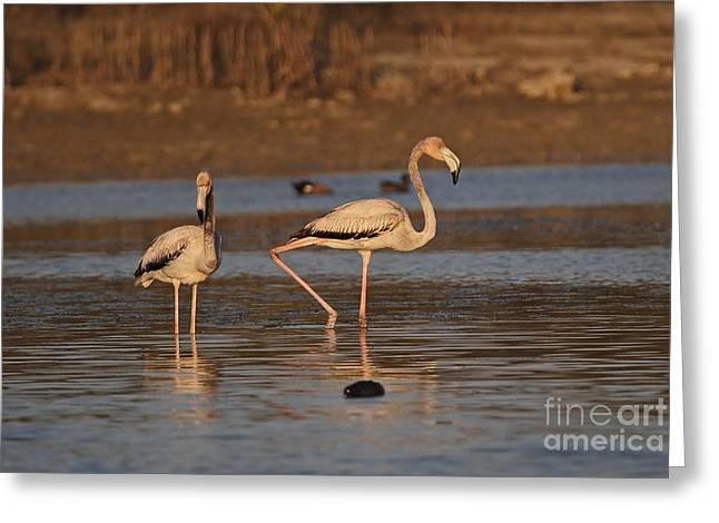 Greater Antilles Greeting Cards - Caribbean Flamingos Greeting Card by Neil Bowman/FLPA