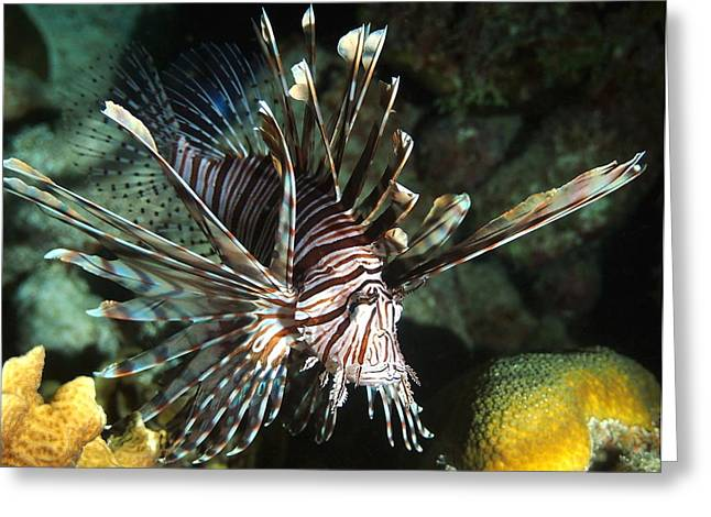Recently Sold -  - Sea Lions Greeting Cards - Caribbean Lion Fish Greeting Card by Amy McDaniel