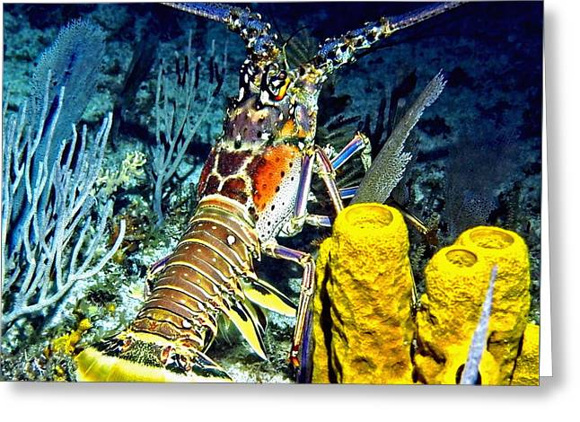 Sea Animals Greeting Cards - Caribbean Reef Lobster Greeting Card by Amy McDaniel