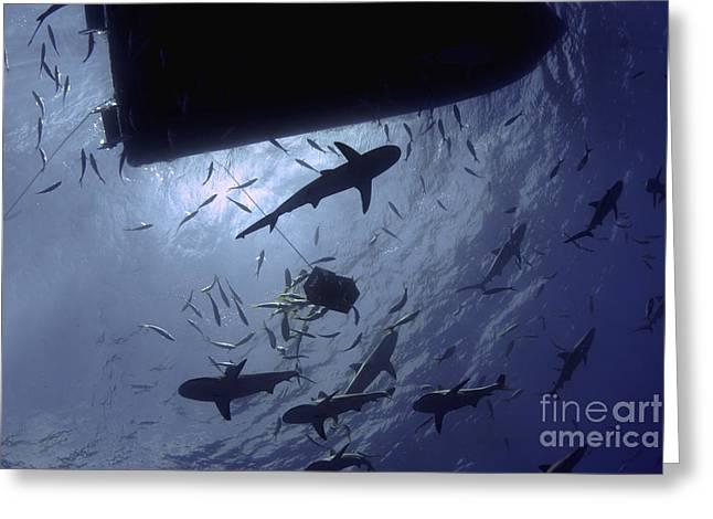 Baitfish Greeting Cards - Caribbean Reef Sharks Circling A Dive Greeting Card by Amanda Nicholls