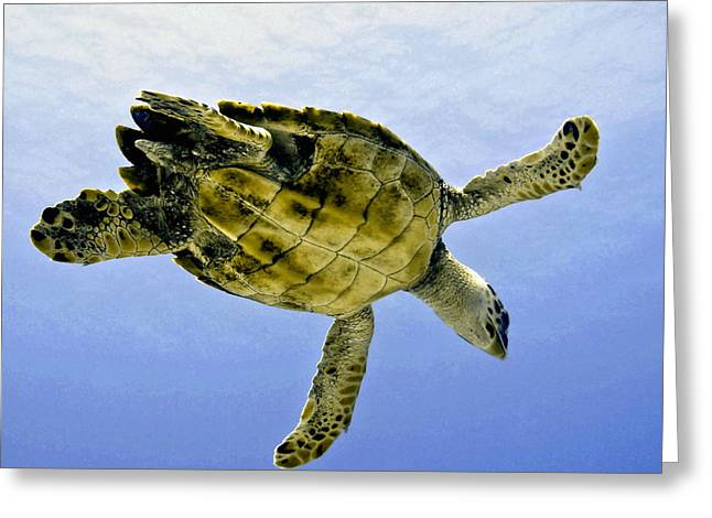 Cayman Houses Greeting Cards - Caribbean Sea Turtle Greeting Card by Amy McDaniel