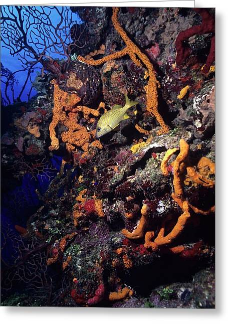 Best Sellers -  - Grunts Greeting Cards - Caribbean Wall Dive Greeting Card by Don Kreuter
