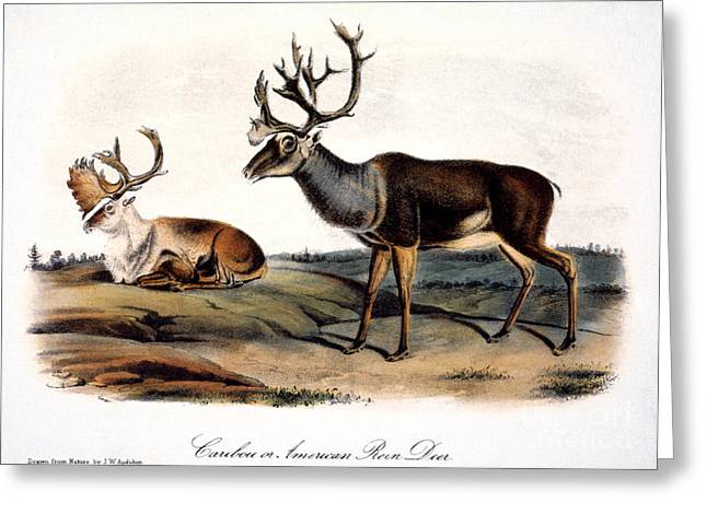 Caribou Greeting Cards - Caribou (rangifer Caribou): Greeting Card by Granger