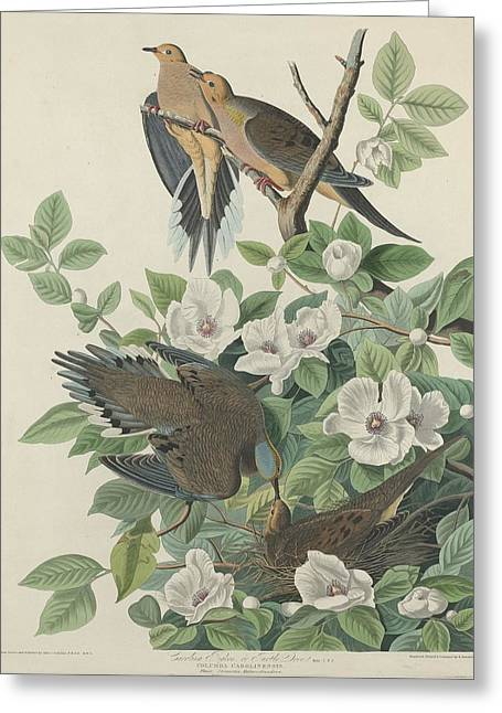 Carolina Pigeon Or Turtle Dove Greeting Card by John James Audubon