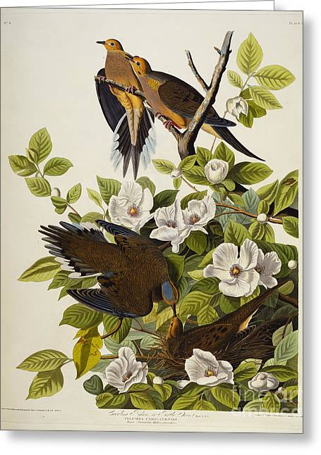 Flower Blooms Drawings Greeting Cards - Carolina Turtledove Greeting Card by John James Audubon