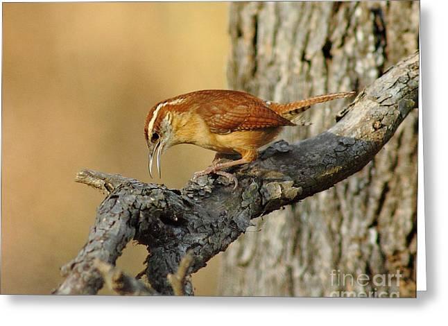 Birdwatcher Greeting Cards - Carolina Wren Greeting Card by Robert Frederick