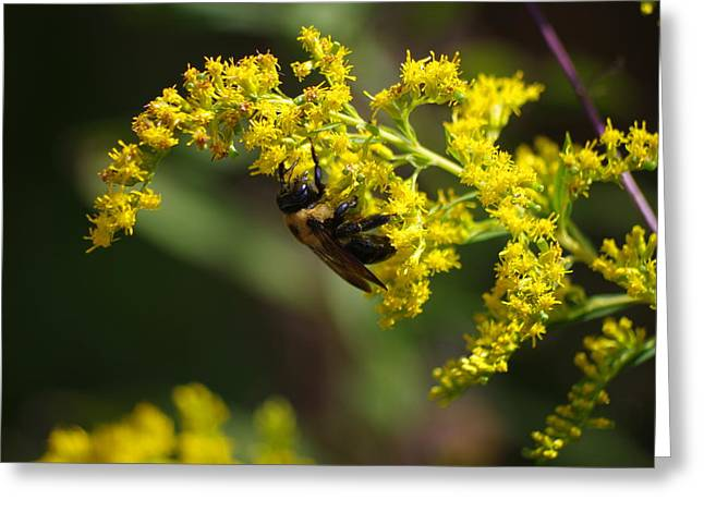Invertebrates Greeting Cards - Carpenter Bee On Goldenrod Greeting Card by Aaron Rushin