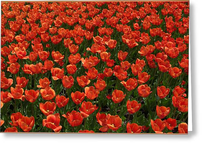 Spring Bulbs Greeting Cards - Carpet of Tulips Greeting Card by Mindy Newman