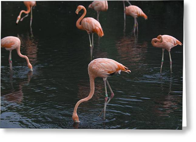 Property-released Photography Greeting Cards - Carribean Flamingoes At The Sedgwick Greeting Card by Joel Sartore