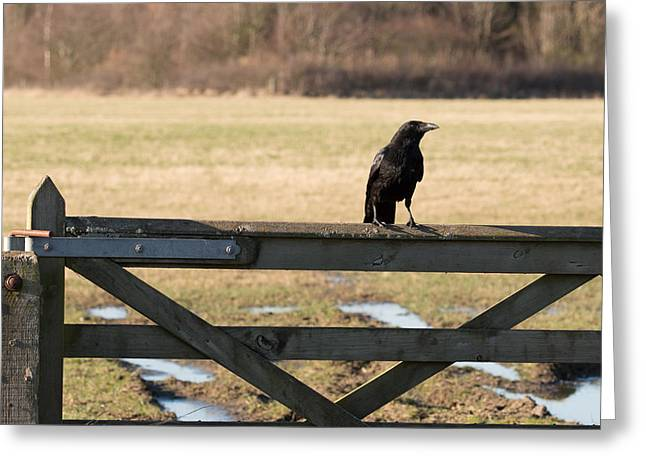 Crow Rising Greeting Cards - Carrion Crow Corvus corone Greeting Card by Robert Carr