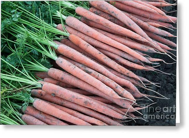 Daucus Greeting Cards - Carrots, Harvest Greeting Card by Inga Spence