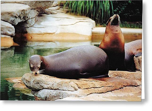 Sea Lions Greeting Cards - Carry That Weight Greeting Card by Jan Amiss Photography
