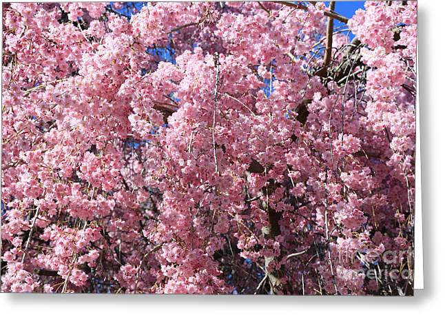 Cascading Pink Blossoms In Springtime Greeting Card by Carol Groenen