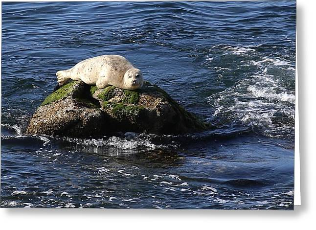 California Sea Lions Greeting Cards - Casper The Friendly Seal Greeting Card by Ru Tover