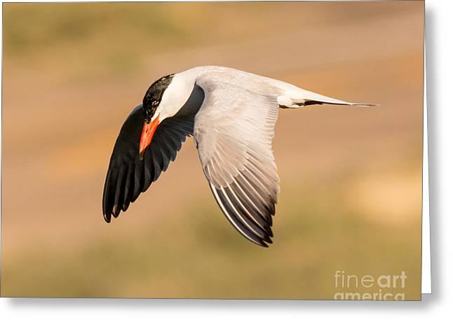 Hunting Bird Greeting Cards - Caspian Tern Hunting Greeting Card by Dennis Hammer