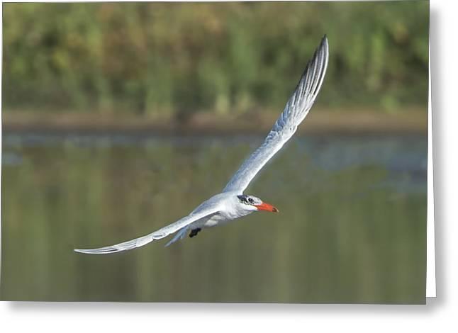 Tern Greeting Cards - Caspian Tern In Flight Greeting Card by William Bitman
