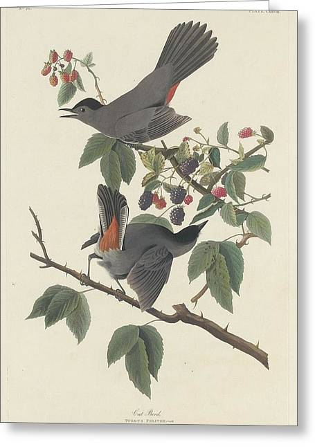 Small Bird Greeting Cards - Cat Bird Greeting Card by John James Audubon