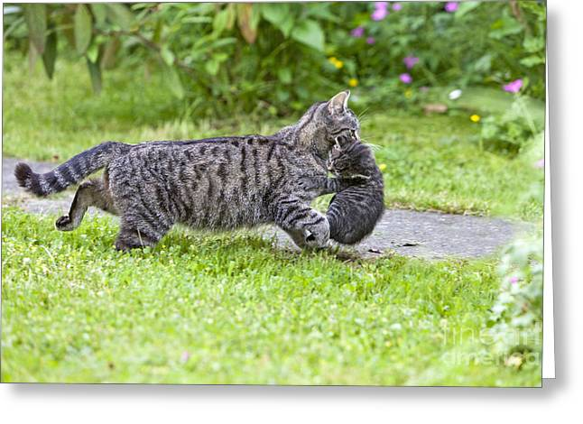 Parental Care Greeting Cards - Cat Carrying Kitten Greeting Card by Duncan Usher