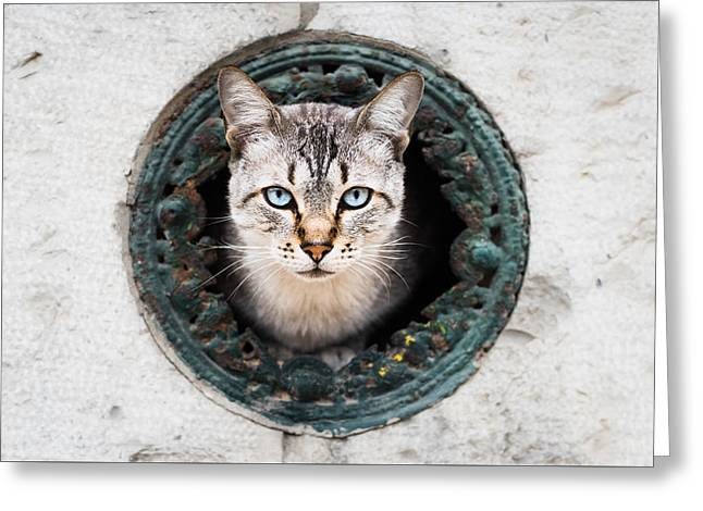 Domestic Pet Portraits.house Cat Greeting Cards - Cat In The Wall II Greeting Card by Marco Oliveira