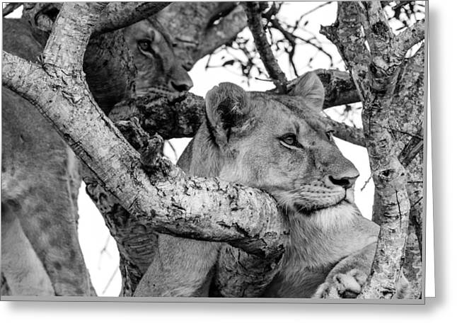 Lioness Greeting Cards - Cat Nap Greeting Card by Brian Henderson