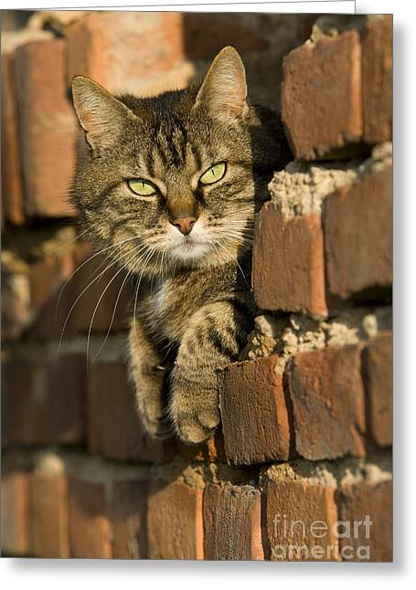 Domestic Pet Portraits.house Cat Greeting Cards - Cat On A Brick Wall Greeting Card by Jean-Louis Klein & Marie-Luce Hubert